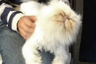 Seattle Persian in Cat