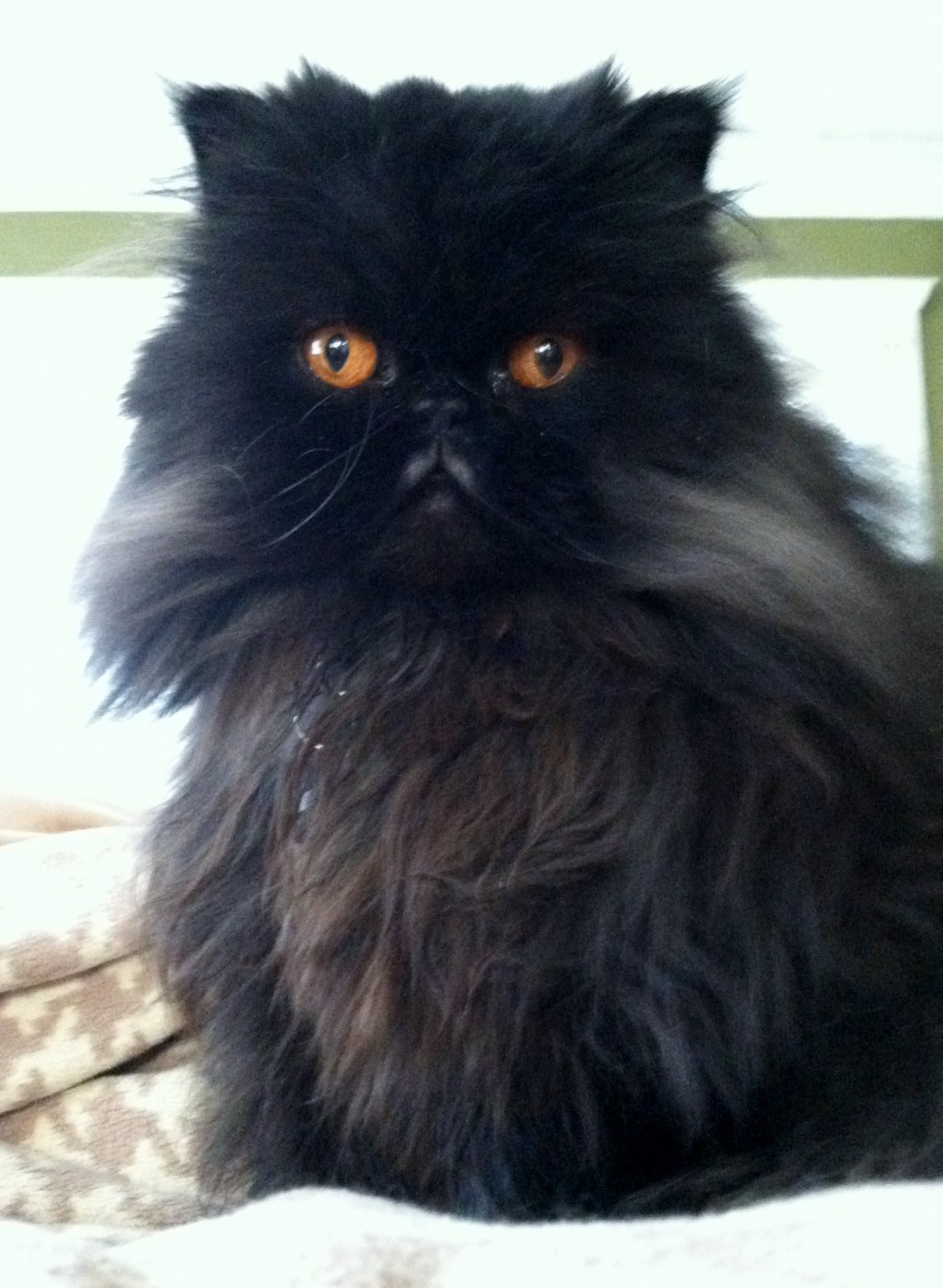 Seattle Persian and Himalayan Rescue