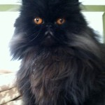 Seattle Persian and Himalayan Rescue , 8 Fabulous Persian Cat Rescue Seattle In Cat Category