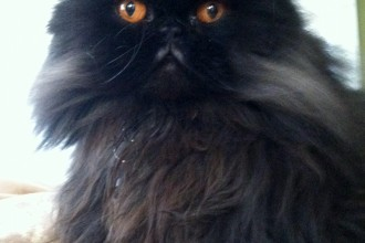 Seattle Persian and Himalayan Rescue in Dog