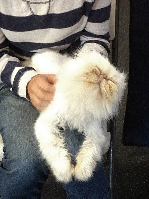 Cat , 8 Fabulous Persian Cat Rescue Seattle : Seattle Persian