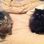 Seattle Persian , 8 Fabulous Persian Cat Rescue Seattle In Cat Category