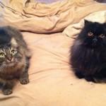 Seattle Persian , 8 Fabulous Persian Cat Rescue Seattle In Cat Category