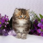 Shaded Golden Teacup Persian Kitten , 9 Charming Tea Cup Persian Cat In Cat Category
