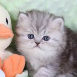 Shaded Golden Teacup Persian Kitten , 8 Cool Tea Cup Persian Cats In Cat Category