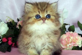 Shaded Golden Teacup kitten in Environment
