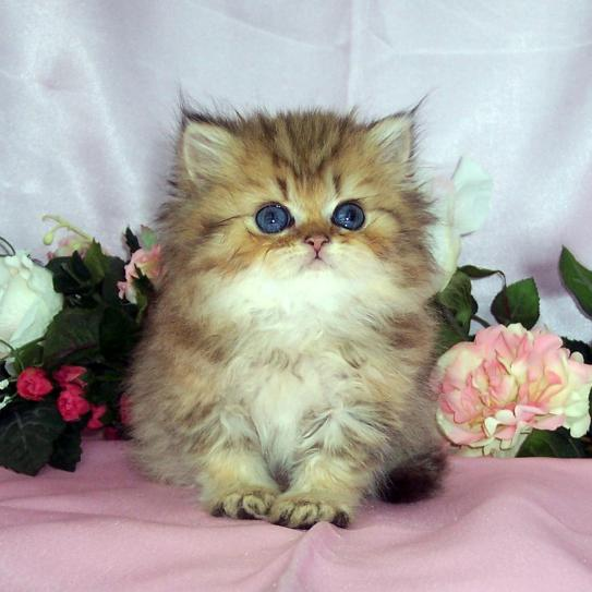 Cat , 9 Charming Tea Cup Persian Cat : Shaded Golden Teacup Kitten