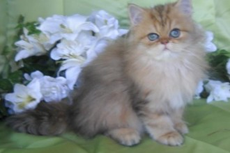 Shaded Golden Teacup Persian , 7 Good Teacup Persian Cats In Cat Category