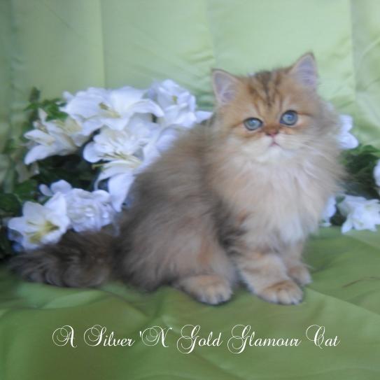 Cat , 7 Good Teacup Persian Cats : Shaded Golden Teacup Persian