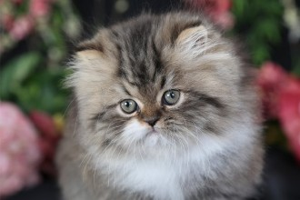 Shaded Golden , 6 Awesome Persian Cats Personality In Cat Category