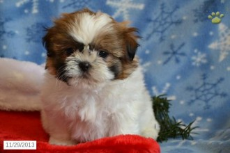 Shichon Puppy For Sale , 8 Cute Shichon Puppies For Sale In Nj In Dog Category