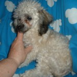 ShihLhasa Breeder , 7 Cool Maltese Puppies For Sale In Augusta Ga In Dog Category
