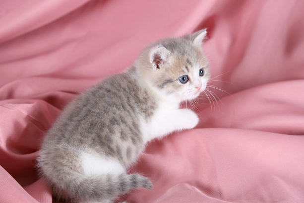 Cat , 7 Cool Short Haired Persian Cats For Sale : Short Hair Kitten