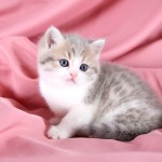 Short Hair Kitten , 7 Cool Short Haired Persian Cats For Sale In Cat Category