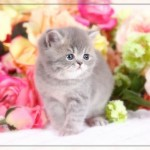 Short Haired Persian kittens , 7 Cool Short Haired Persian Cats For Sale In Cat Category
