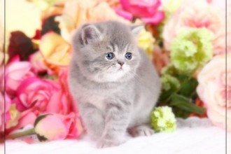 Short Haired Persian kittens in pisces