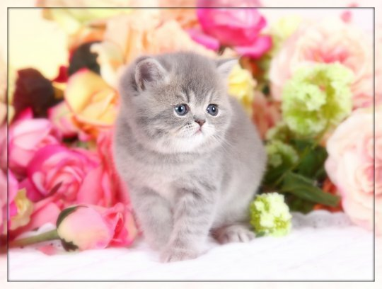 Short Haired Persian kittens