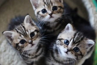 Shorthair Kitten , 9 Cool How Much Do Persian Cats Cost In Cat Category
