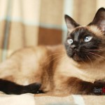 Siamese , 9 Good Do Persian Cats Shed In Cat Category