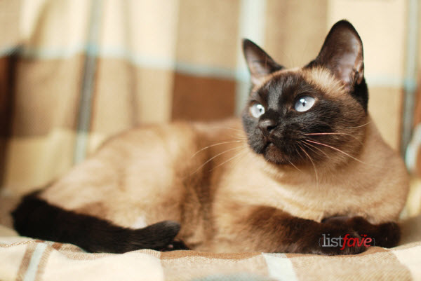 Cat , 9 Good Do Persian Cats Shed : Siamese