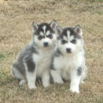 Siberian Huskies , 9 Beautiful Siborgi Puppies In Dog Category