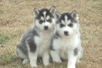 Siberian Huskies in Animal