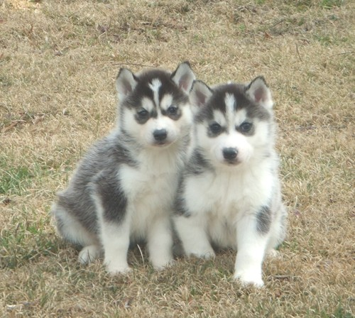 Dog , 9 Beautiful Siborgi Puppies : Siberian Huskies