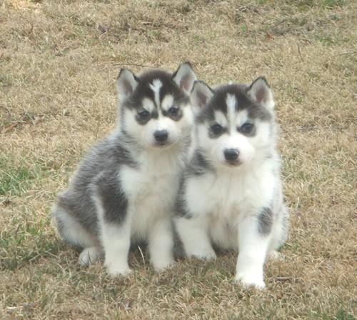 Dog , 9 Beautiful Siborgi Puppies : Siberian Huskies