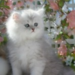 Silver Chinchilla Persian Kitten , 9 Charming Tea Cup Persian Cat In Cat Category