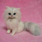 Silver Chinchilla Persian Kitten , 7 Cute Miniature Persian Cat In Cat Category