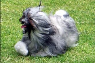 Silver Havanese , 7 Cute Yuppy Puppy Havanese In Dog Category