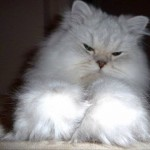 Silver Persian Cat , 9 Cute Persian Himalayan Cat Rescue In Cat Category