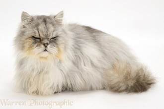 Silver Tabby Chinchilla , 7 Charming Chinchilla Persian Cats In Cat Category