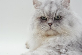 Silver Tabby Chinchilla Persian , 8 Lovely Persian Chinchilla Cat In Cat Category
