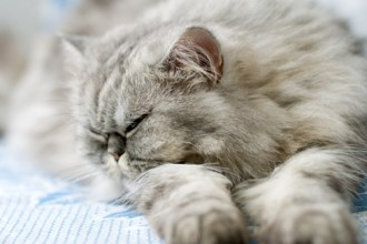 Sleeping Persian , 9 Good Do Persian Cats Shed In Cat Category