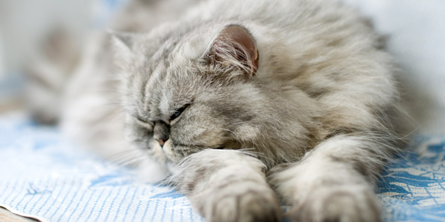 Cat , 9 Good Do Persian Cats Shed : Sleeping Persian