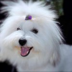 Snowflower Cotons , 7 Cute Coton De Tulear Puppy Cut In Dog Category