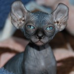 Sphynx , 9 Cool How Much Do Persian Cats Cost In Cat Category