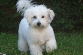 Standard Du Coton , 7 Cute Coton De Tulear Puppy Cut In Dog Category