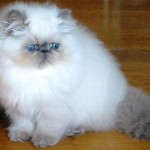 Stunning Persian , 5 Best Himalayan Persian Cat For Sale In Cat Category