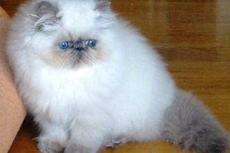 Stunning Persian in Dog