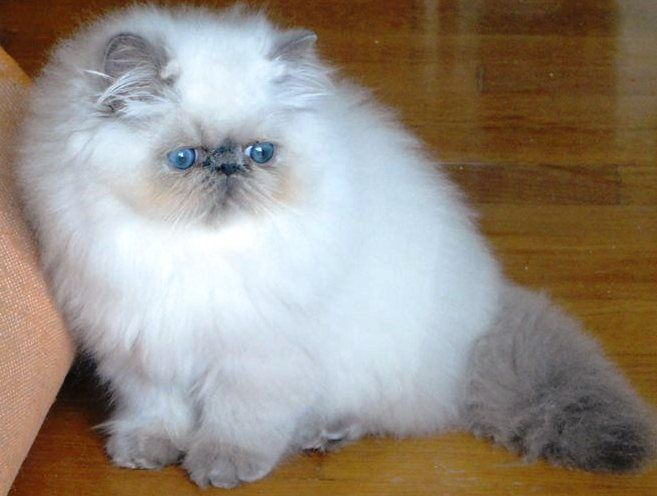 Cat , 5 Best Himalayan Persian Cat For Sale : Stunning Persian
