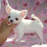 Sweetest Chihuahua Puppies , 8 Cute Chiuaua Puppies For Sale In Pa In Dog Category