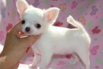 chihuahua for sale in pa tiny beautiful chihuahua 8 cute chiuaua puppies for sale 4096