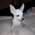 Teacup Chihuahuas Cost , 9 Cool How Much Do Persian Cats Cost In Cat Category