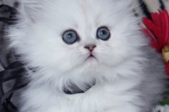 How much do teacup persian cats cost