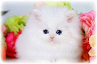 Teacup Persian , 7 Good Teacup Persian Cats In Cat Category