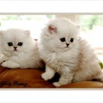 Teacup Persian Cats , 8 Cool Teacup Persian Cats For Sale In Cat Category
