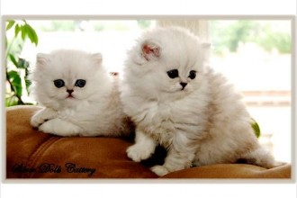 Teacup Persian Cats in Cell