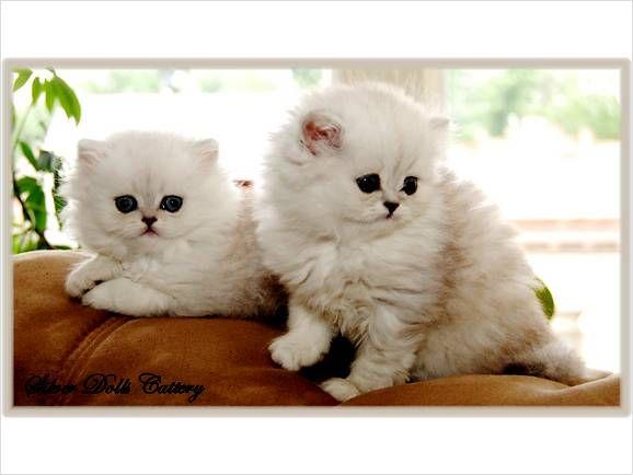 Cat , 8 Cool Teacup Persian Cats For Sale : Teacup Persian Cats